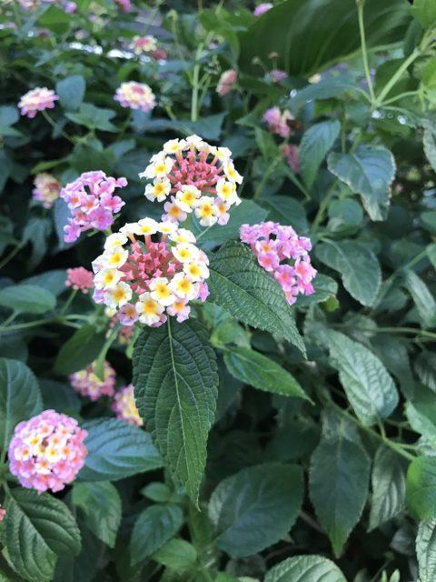 新宿御苑周辺は紫陽花が見頃です